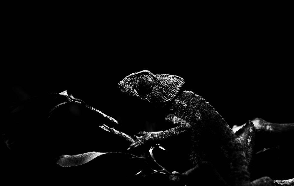 La face sombre du Caméléon - Parc Zoologique de Paris