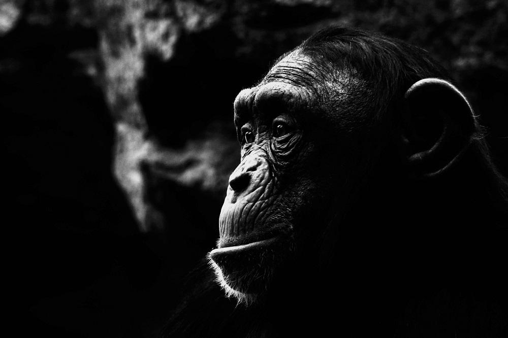Chimpanzé - ZOOM Erlebniswelt Gelsenkirchen