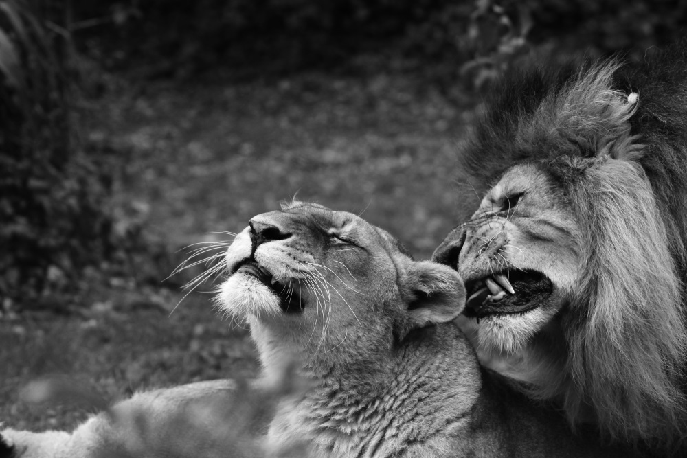 Couple de lion - Bioparc de Doué la Fontaine