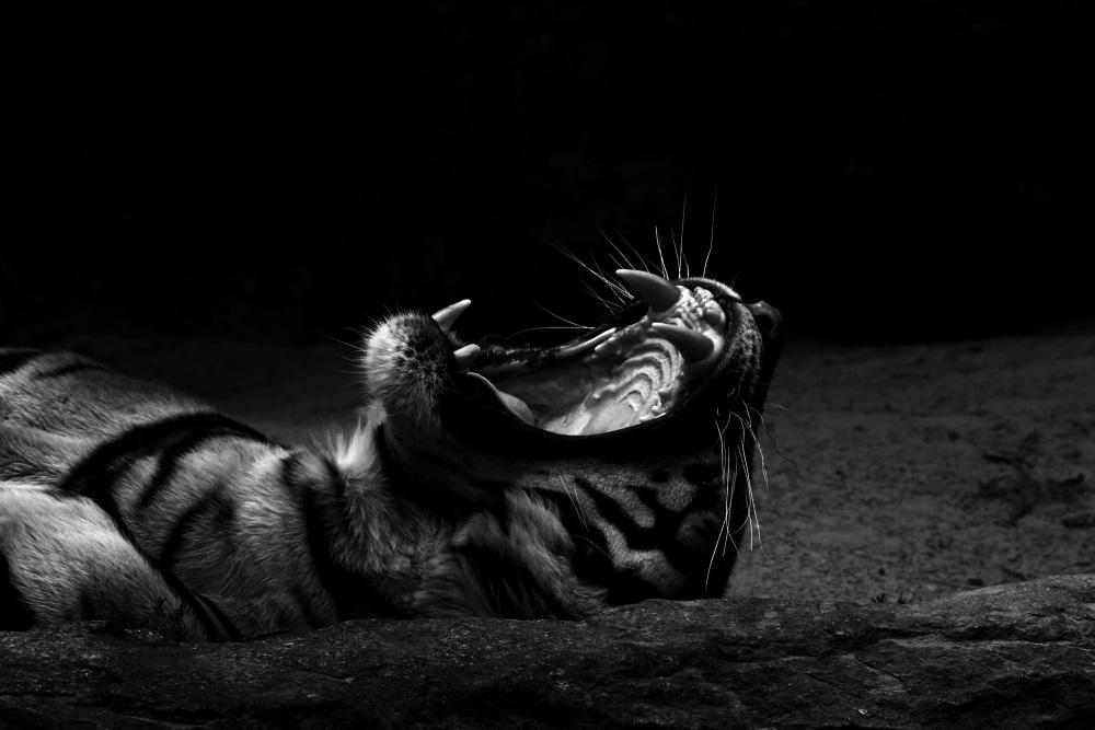 La face sombre du tigre de Malaisie - Tierpark Berlin