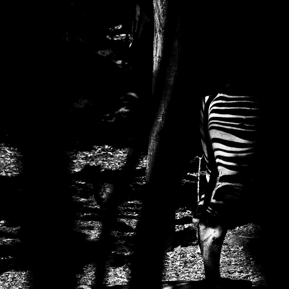 Mondonga l'énigme okapi - Bioparc de Doué la Fontaine