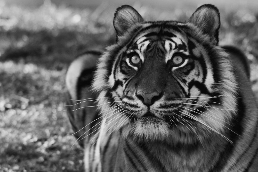 Tigre de Sumatra - Bioparc de Doué la Fontaine