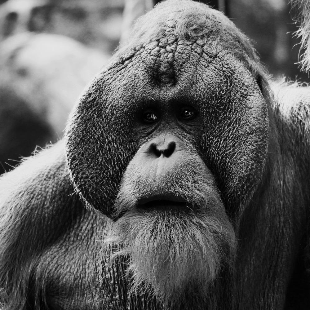 Un beau mâle Orang Outan - Tierpark Hagenbeck