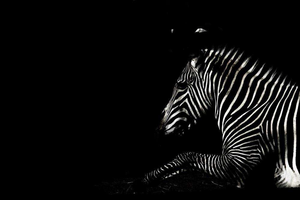 Zèbre de Grévy dans l'obscurité - Parc zoologique de Paris