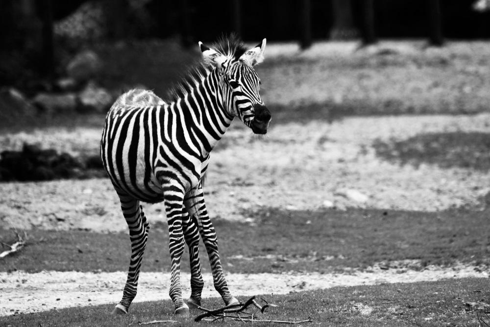 Zèbre en noir et blanc - Burgers'zoo