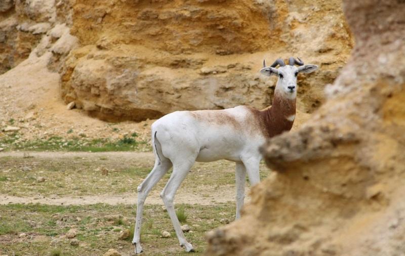 Gazelle dama bioparc de doue la fontaine