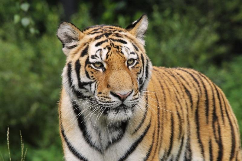 Tigre de siberie tierpark hagenbeck
